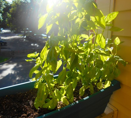 Basil with lens flare.